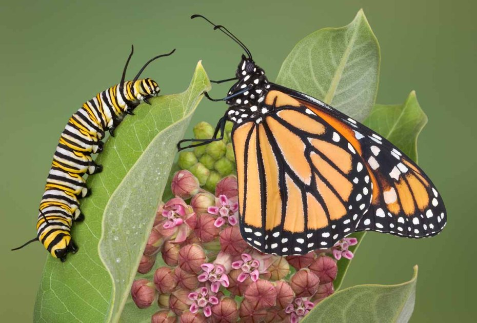 Monarch butterfly and caterpillar on Milkweed