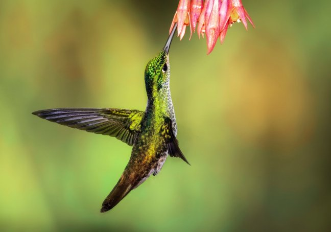 chris-charles-hummingbird