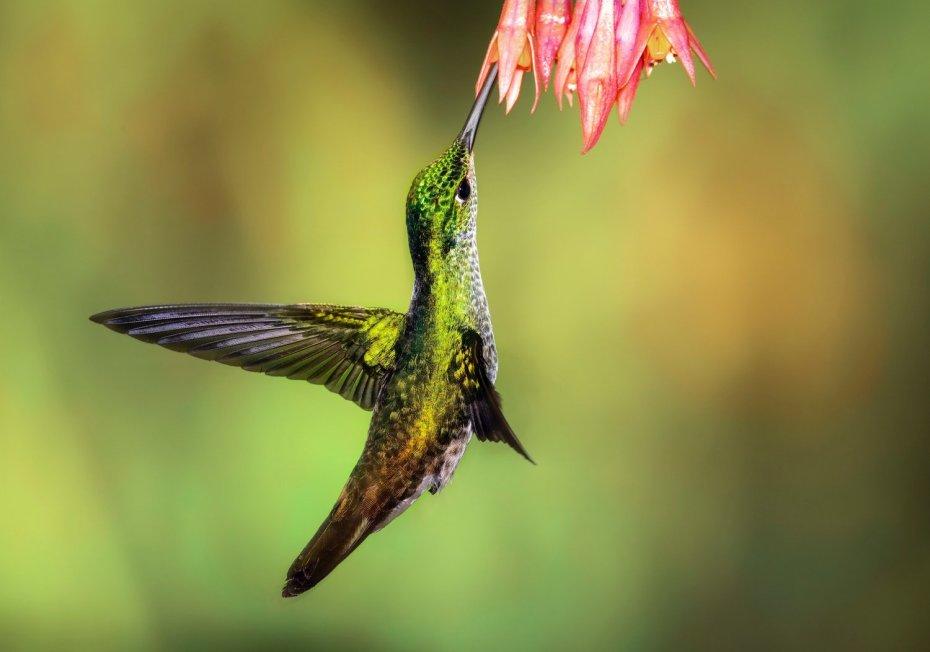 chris-charles-hummingbird